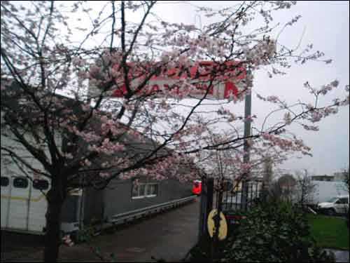 japanse kerselaar op 11 januari 2007